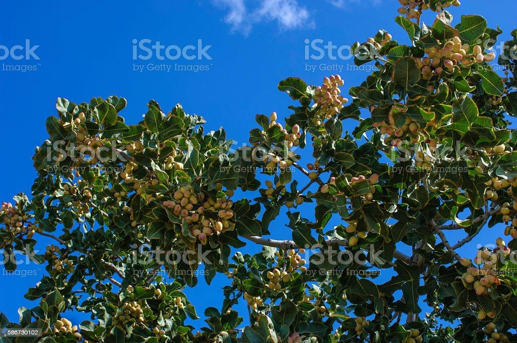 Ripening en ramas del árbol de pistacho - foto de stock