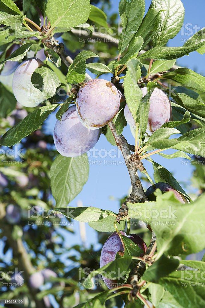 Ripening Prunes royalty-free stock photo