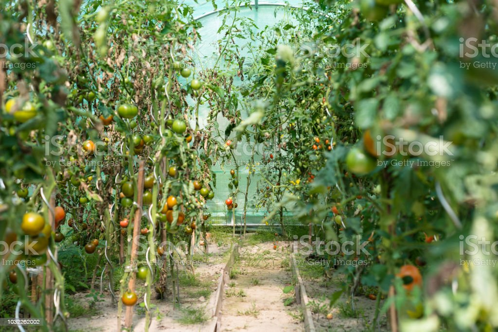 Reife Tomaten im Sommer heiß, August täglich in einem Hausgarten und Heimat Gewächshaus. – Foto