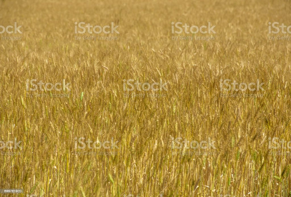 Ripening wheat field as yellow abstract stock photo