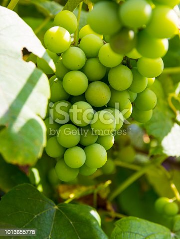 Green grapes growing on the grape vines. Close-up on fruits.