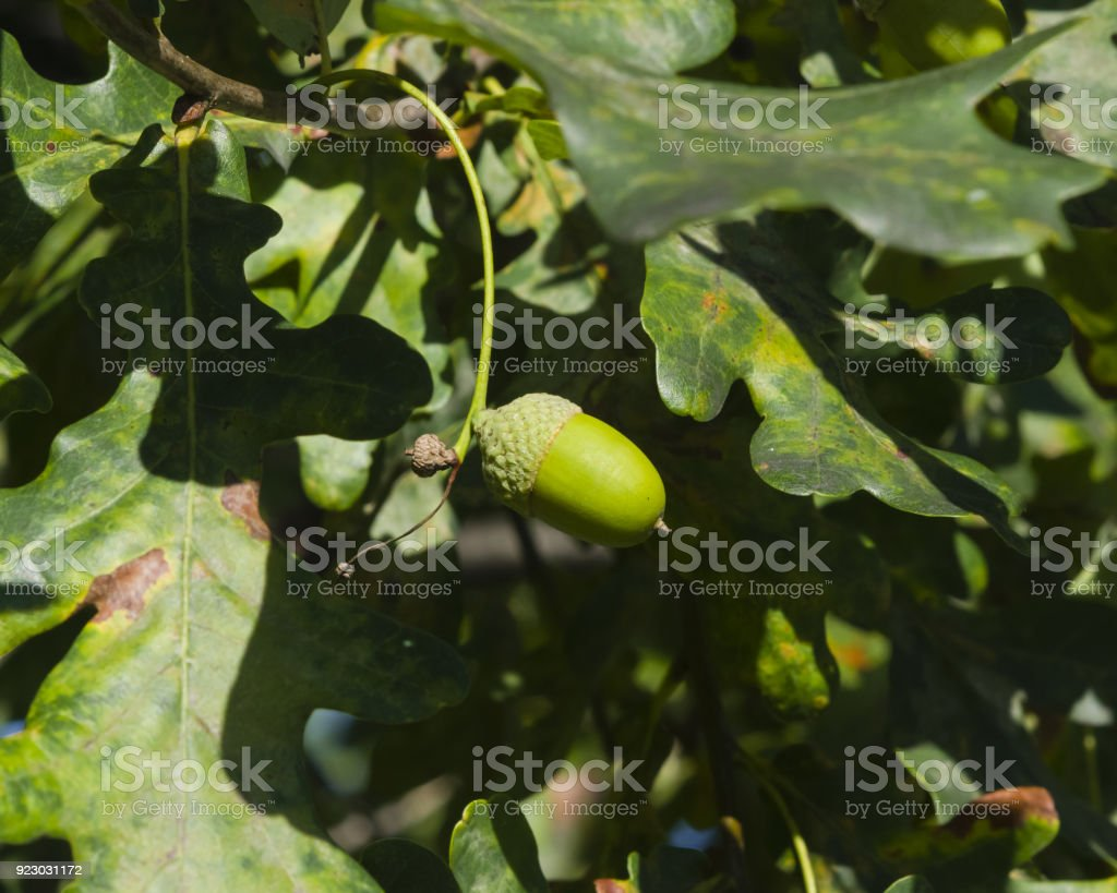 Riping green acorn and leaves on oak, quercus, close-up, selective focus, shallow DOF stock photo