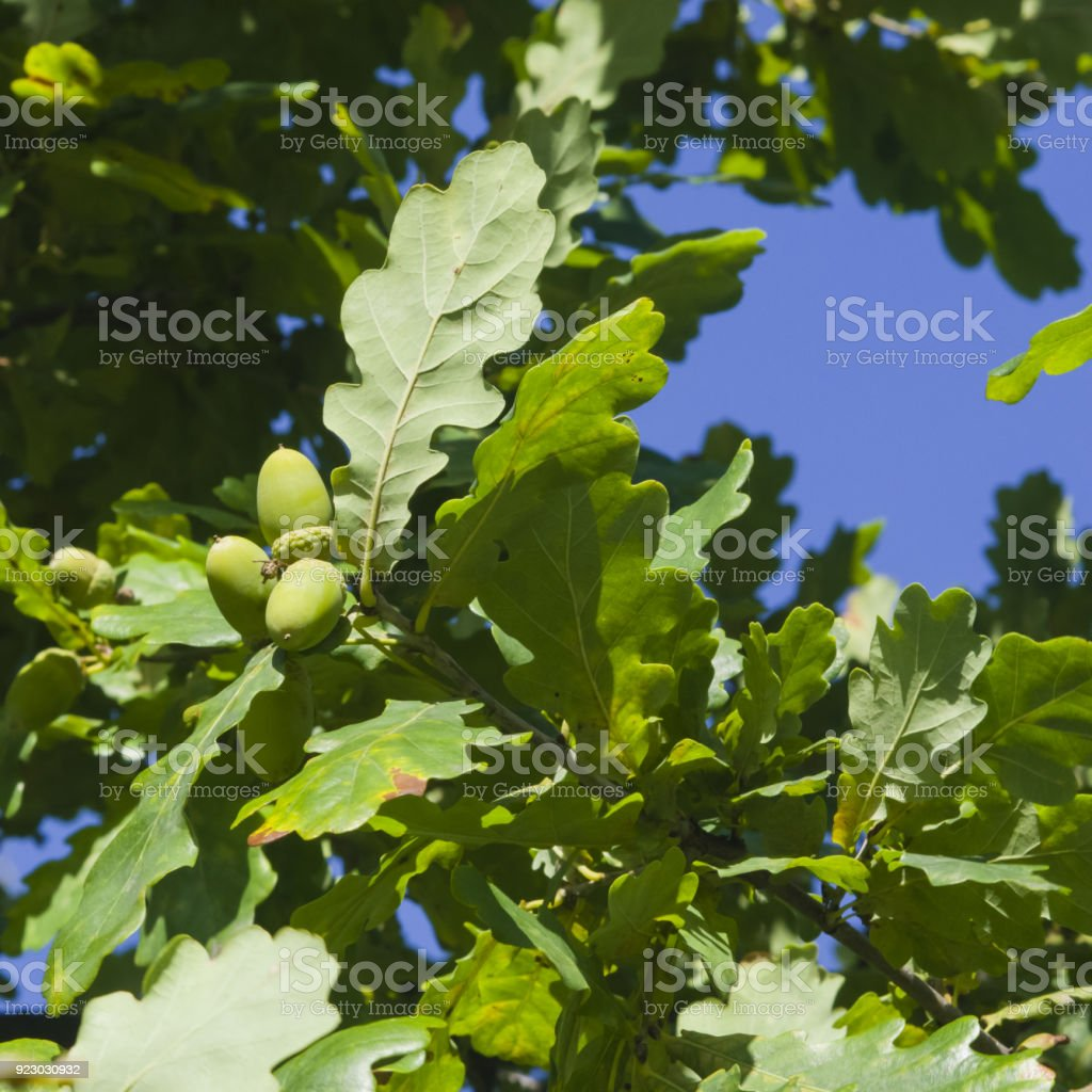 Riping green acorns and leaves on oak, quercus, close-up, selective focus, shallow DOF stock photo