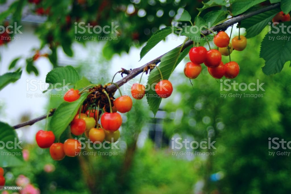 Riping sweet cherries on a branch. stock photo