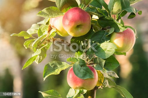 Rippe apples in the orchard ready for harvest