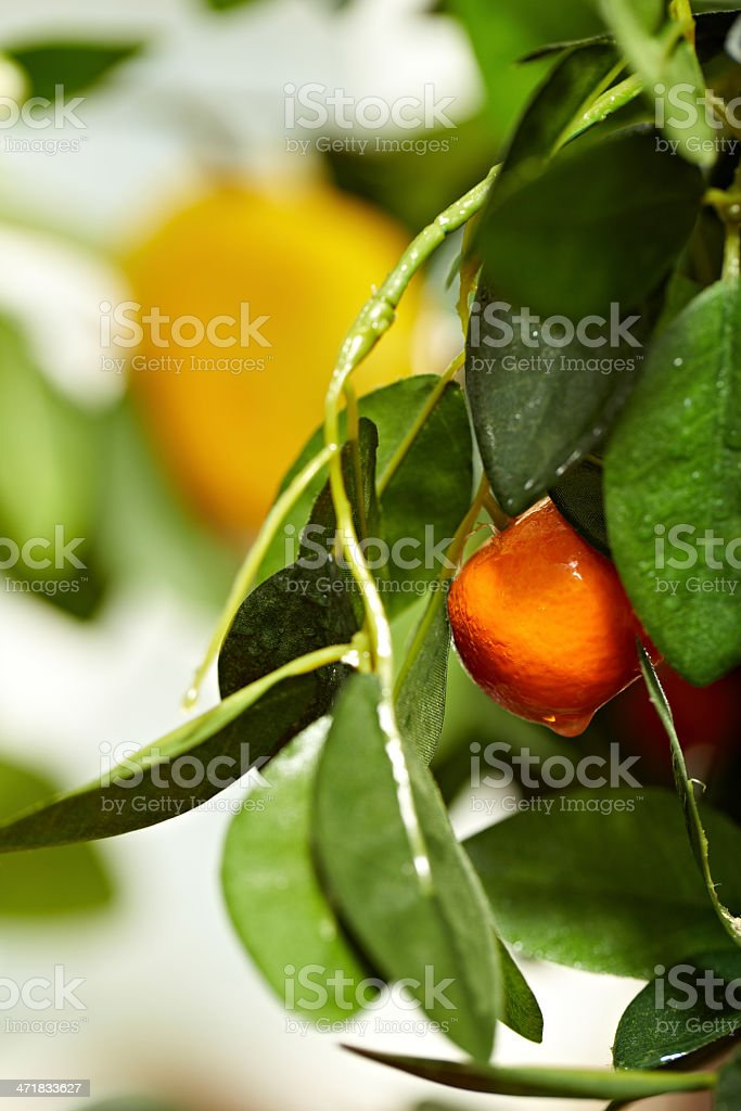 Ripping tangerine royalty-free stock photo