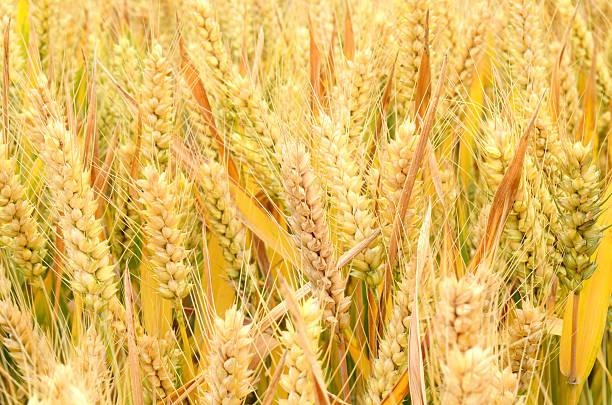 Ripping wheat stock photo