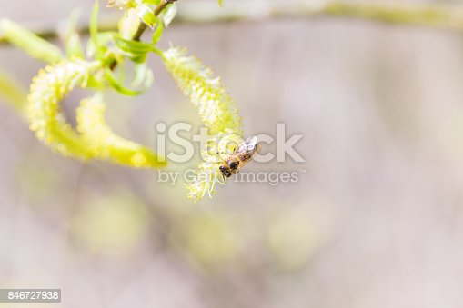 istock Risen blooming inflorescences male flowering catkin or ament on a Salix alba white willow in early spring before the leaves. Collect pollen from flowers and buds 846727938