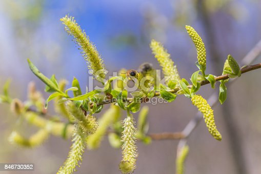 istock Risen blooming inflorescences male flowering catkin or ament on a Salix alba white willow in early spring before the leaves. Collect pollen from flowers and buds 846730352