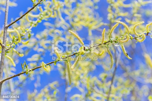 istock Risen blooming inflorescences male flowering catkin or ament on a Salix alba white willow in early spring before the leaves. Collect pollen from flowers and buds 846730424