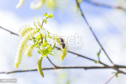 istock Risen blooming inflorescences male flowering catkin or ament on a Salix alba white willow in early spring before the leaves. Collect pollen from flowers and buds 846731404