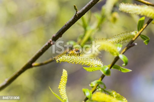 istock Risen blooming inflorescences male flowering catkin or ament on a Salix alba white willow in early spring before the leaves. Collect pollen from flowers and buds 846731906