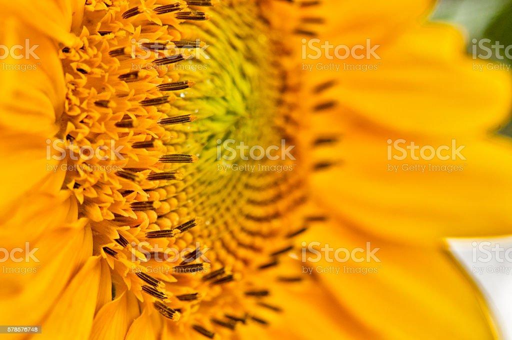 rising sunflower, Macro stock photo