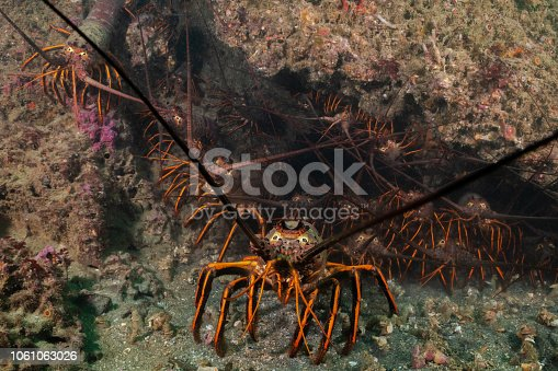 A risk of California spiny lobster off the coast of Palos Verdes, California.