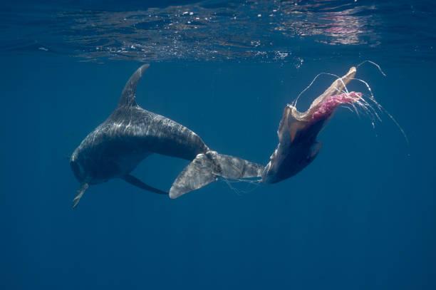 Rissos Dolphin, Sri Lanka stock photo