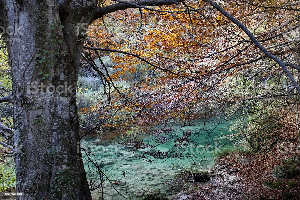 River and old beech royalty-free stock photo