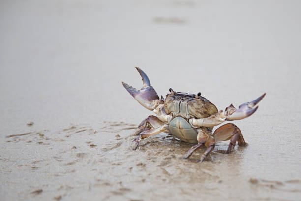 river crab - crabe photos et images de collection