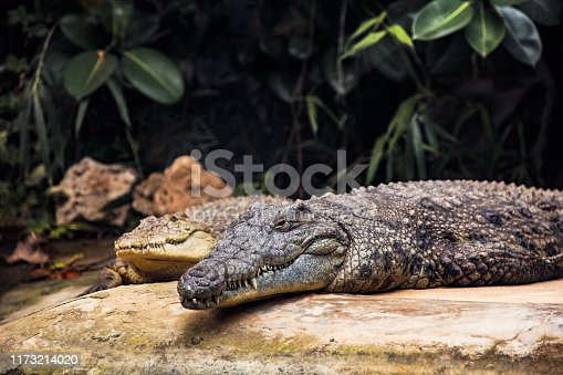 River Crocodile