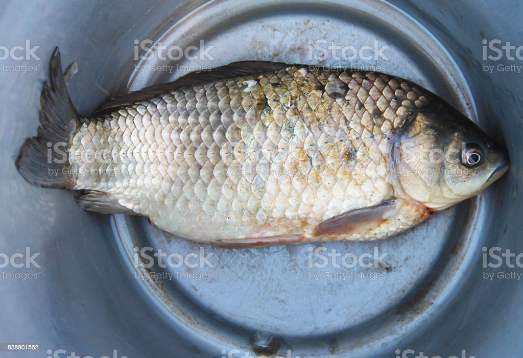 River fish carp lies in an aluminum bucket - catch of a successful fishing. Close-up. stock photo