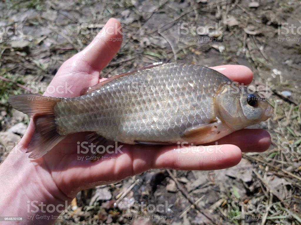 river fish crucian royalty-free stock photo