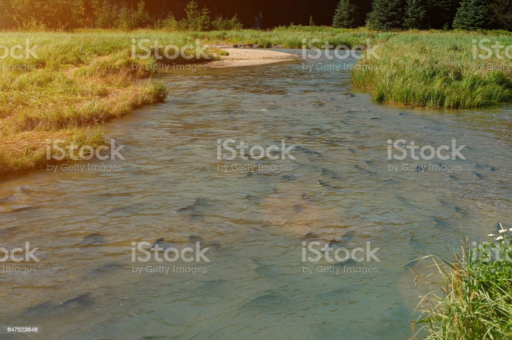 River full of salmon stock photo