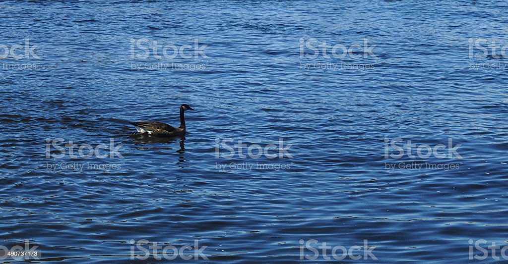River Goose royalty-free stock photo