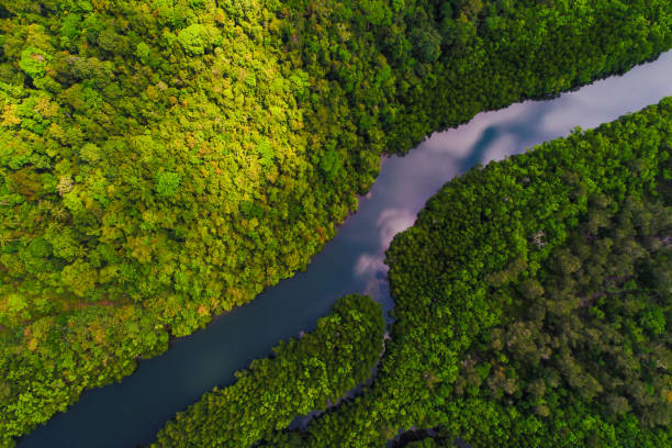 River in tropical mangrove green tree forest River in tropical mangrove green tree forest aerial view amazon region stock pictures, royalty-free photos & images
