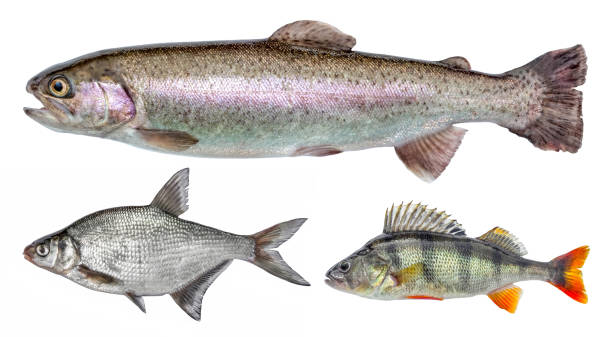 River isolated fish set, perch, bream, rainbow trout River isolated fish set, perch, bream, rainbow trout perch fish stock pictures, royalty-free photos & images