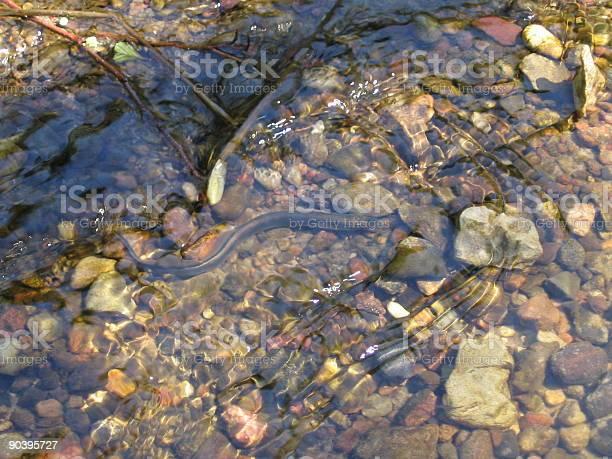 Photo of River lamprey
