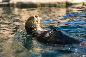 High quality stock photo of a river otter eating a shellfish on it's back.
