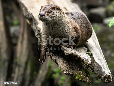 A river Otter ( Lontra canadensis ) upper body.