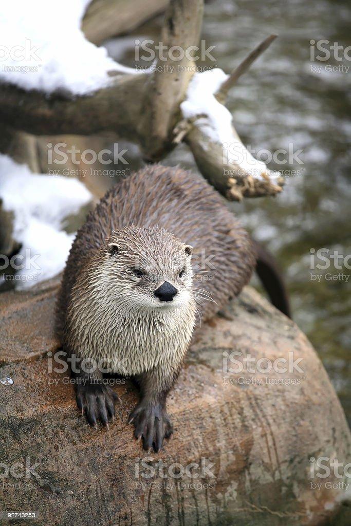 River otter Lizenzfreies stock-foto
