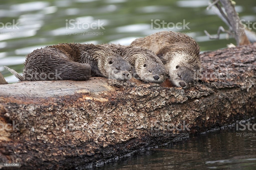 River otter Trio sleep on floating log Yellowstone NP Wyoming stock photo