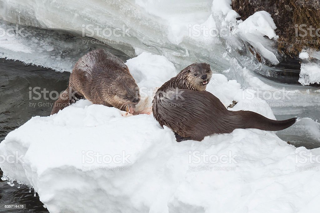 River otters feeding on trout in the Yellowstone River. royalty-free stock photo