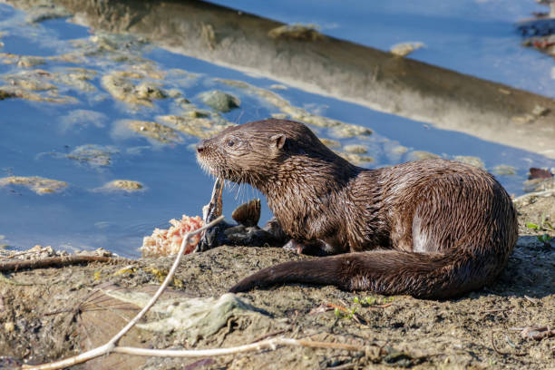 River Otters in South Miami Florida stock photo