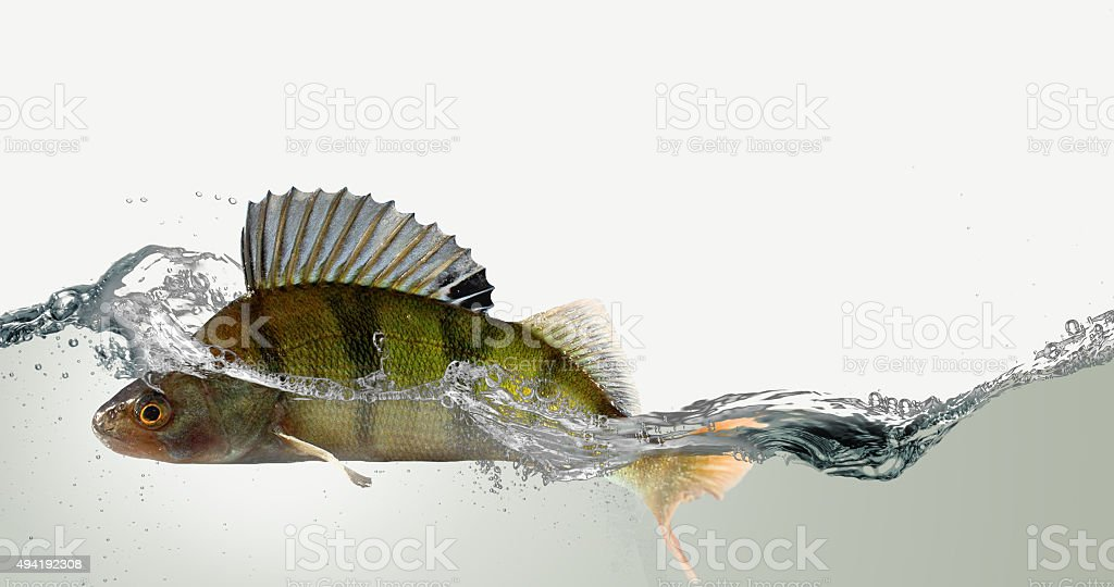 River perch and water. stock photo