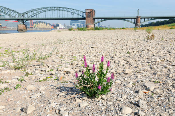 River Rhine with low water, Cologne, Germany stock photo