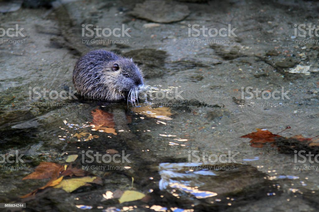 river rodent stock photo