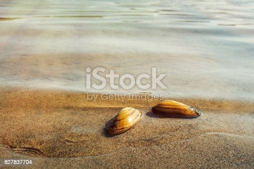 River seashells.Sandy beach and warm river water habitat shellfish.From the life of seashells.Selective focus.