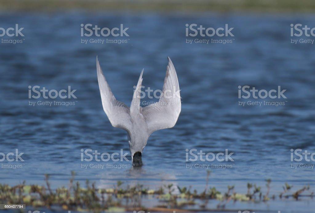 River tern diving stock photo