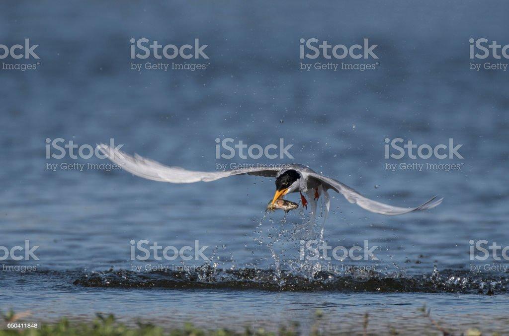 River tern hunting stock photo