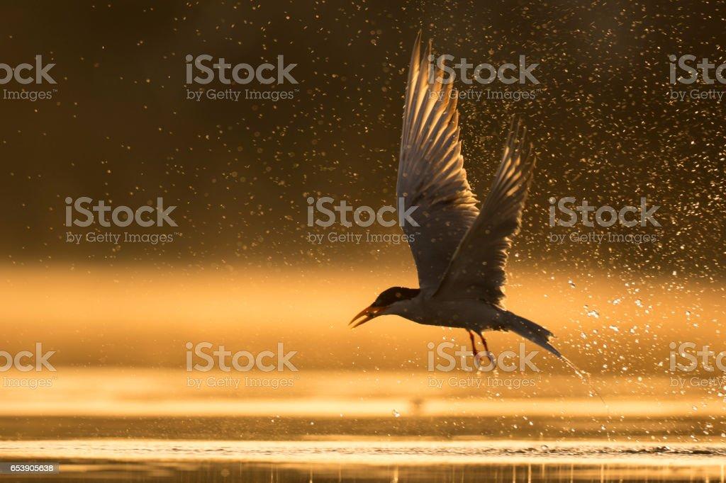 River tern hutning at sunrise stock photo