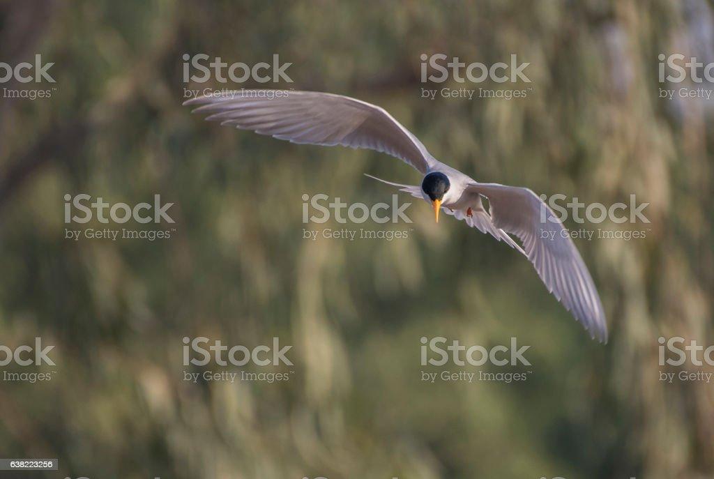 Trinta-réis-rio - foto de acervo