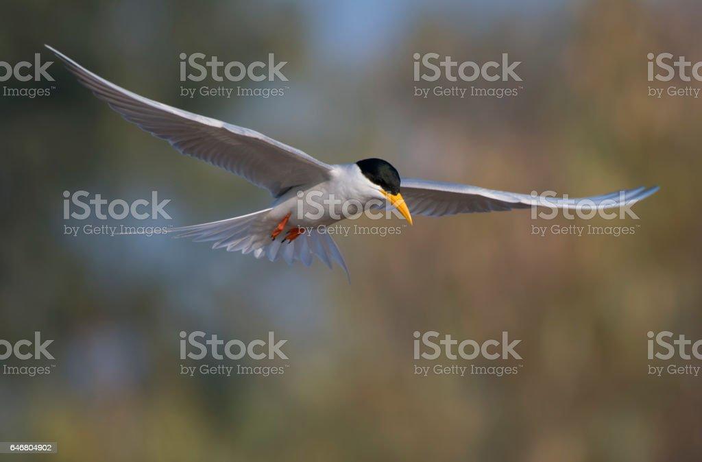 River Tern stock photo