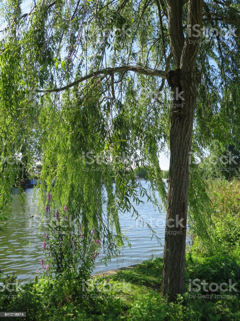 River Thame through weeping willow stock photo
