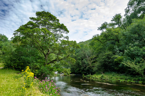 A river through a forest in summer Wye River in the English Peak District, UK riverbank stock pictures, royalty-free photos & images
