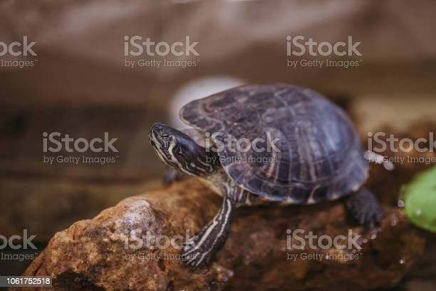 River turtle sits on the stone picture id1061752518?b=1&k=6&m=1061752518&s=612x612&h=gp 3qdwwxizusphc4tparvrmhbjm20fe2zh7q3g8qlo=
