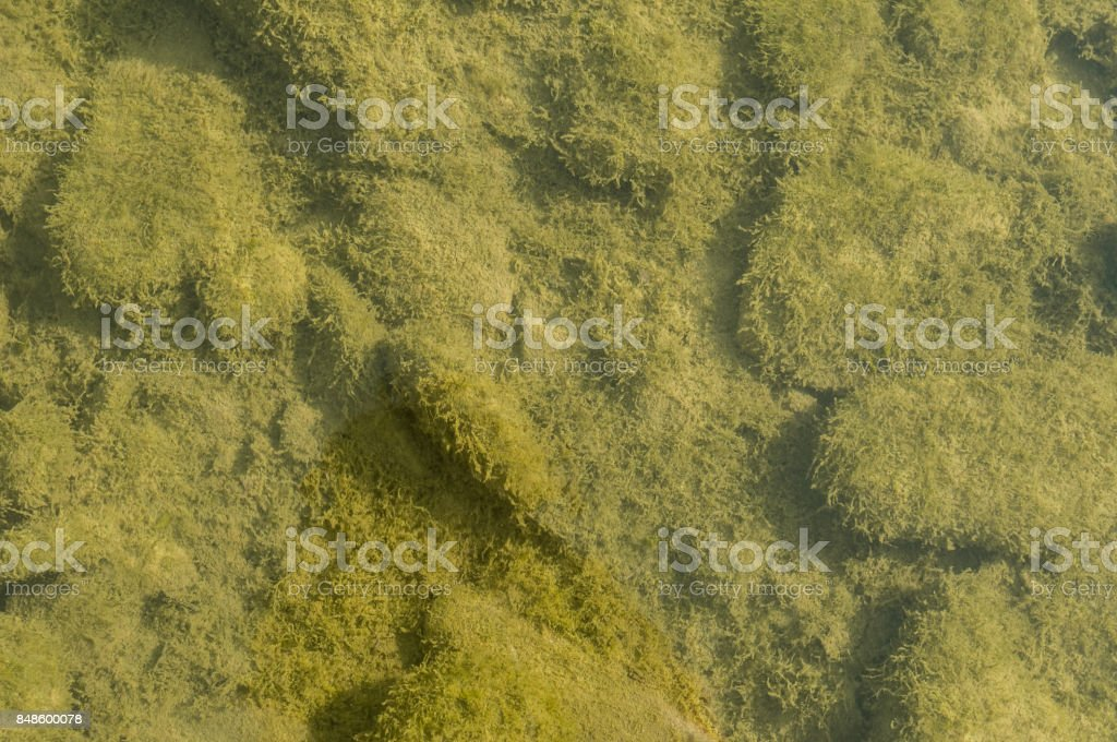 Riverbed of a small polluted stream undegoing eutrophication, covered by an overgrowth of algae stock photo