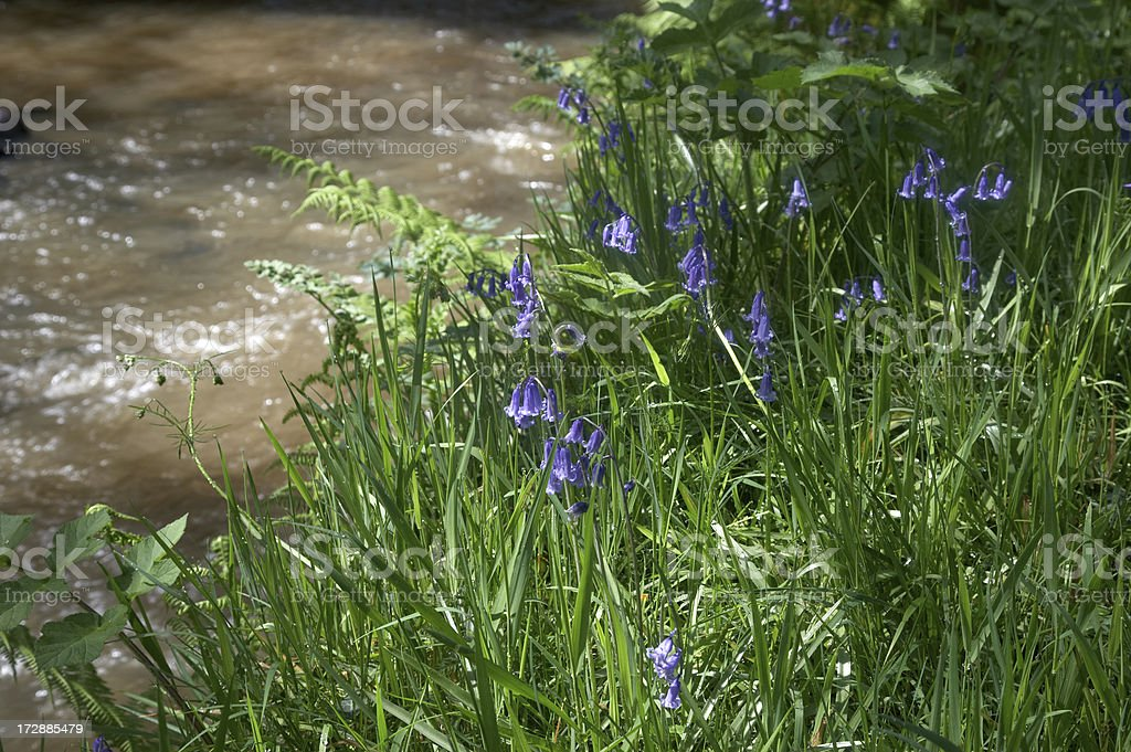 Riverside bluebells flowing water royalty-free stock photo