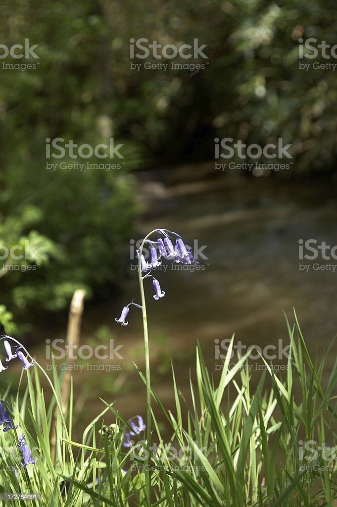 Riverside bluebells royalty-free stock photo